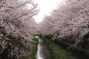ランニング仲間が多摩川上流から送ってくれた桜。