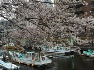 20160402_sakura_tsukishima