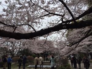 皇居周辺(千鳥ヶ淵)の桜。