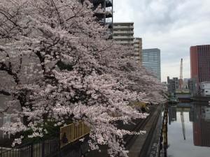月島の桜その2